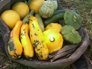 farmer's market summer squash variety