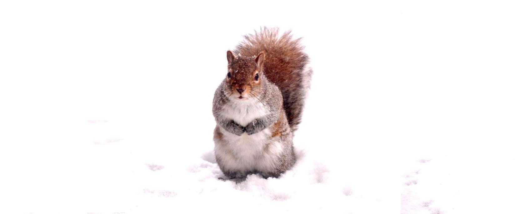 snow squirrel 1377032_74529201